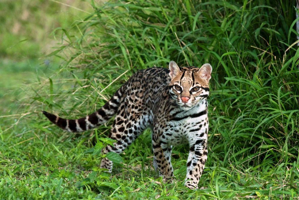 Un chat de type Ocelot